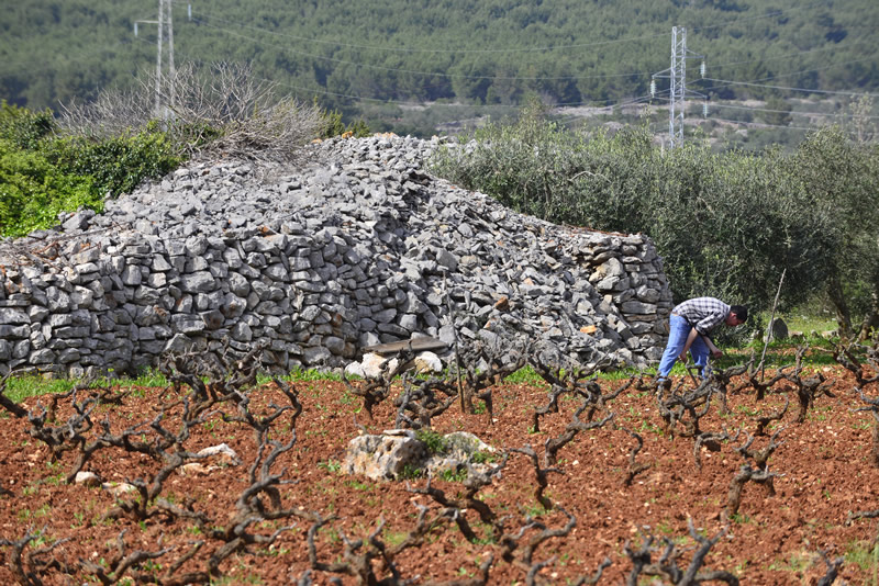 Cultivation of vineyard in AGER - Hvar UNESCO Agricultural protected plot